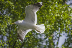 Seagull flying over the river Stock Image