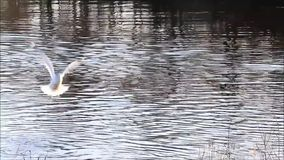 Seagull flying over the river stock video