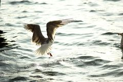Seagull flying over sea Stock Photography