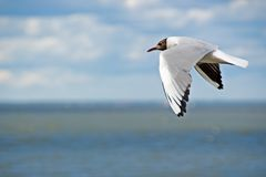 Seagull flying over sea Royalty Free Stock Image