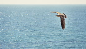 Seagull flying over the sea Stock Images