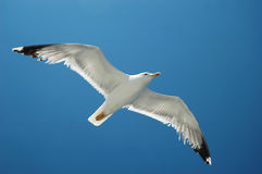 Seagull flying over the sea. Following the boat royalty free stock images