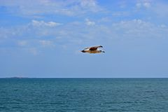 A Seagull Flying Over The Sea royalty free stock photo