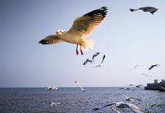 Seagull flying. Over the sea at blue sky Stock Image