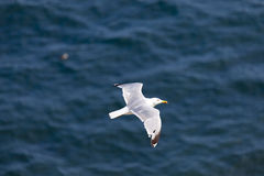 Seagull flying over the sea. Seagull is flying over the sea, floating in the air stock images