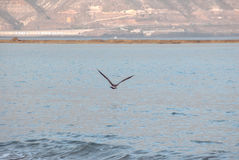 Seagull flying over the sea Stock Photography