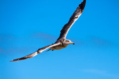 Seagull flying over the sea in the sky Stock Photo