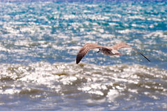 Seagull flying over the sea Royalty Free Stock Photography