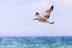 Seagull flying over the sea. Royalty Free Stock Images