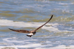 Seagull flying over the sea. Stock Photos