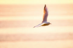 A seagull flying over the sea at sunrise Royalty Free Stock Photography