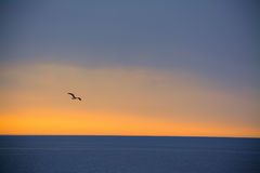 Seagull flying over the sea at sunset Stock Photos