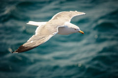 Seagull Flying over Sea Stock Image