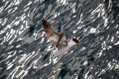 Seagull is flying over sea waters Stock Photography
