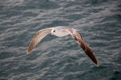 Seagull is flying over sea waters Royalty Free Stock Images