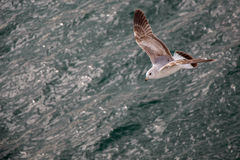 Seagull is flying over sea waters Royalty Free Stock Image