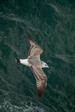 Seagull is flying over sea waters Royalty Free Stock Photos