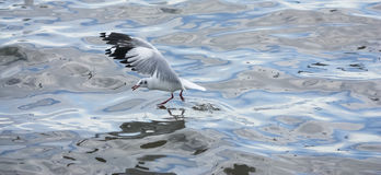 Seagull flying over sea Royalty Free Stock Photography