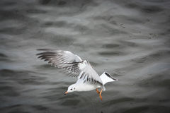 Seagull flying over sea Stock Images