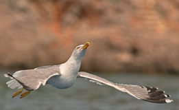 Seagull flying. Over the see in Croatia Stock Photography