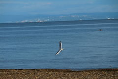 A seagull flying over the see. A seagull is Flying over the sea and the beach Royalty Free Stock Photo