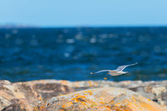 Seagull flying over the shoreline Stock Photo