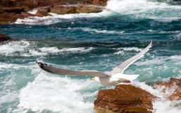 Seagull flying over surf Royalty Free Stock Photography