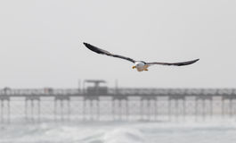 Seagull flying over the surf Royalty Free Stock Photos