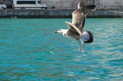 Seagull flying over water. Seagull flying over turquoise colored sea water Royalty Free Stock Photography