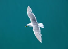 Seagull flying over turquoise waters Stock Photography