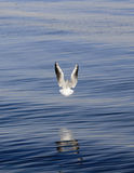 Seagull Flying Over Water Royalty Free Stock Photography