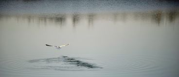 Seagull flying on over water. Seagull flying over calm sea water Royalty Free Stock Images