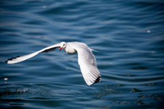 Seagull Flying. A seagull is flying over the water with her wings widely open Stock Photo
