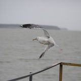 Seagull flying over water Royalty Free Stock Images