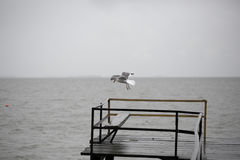 Seagull flying over water Stock Image