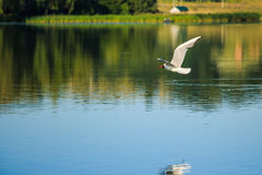 Seagull flying over the water Stock Photos