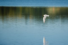Seagull flying over the water Stock Photography