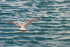 The seagull is flying over the water in Sete, Languedoc Roussillon, France. Copy space for text. The seagull is flying over the water in Sete, Languedoc Stock Image