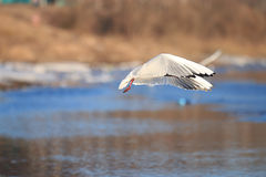 Seagull flying over the water. In spring Stock Photos