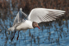 Seagull flying over water. With a straw in its beak Royalty Free Stock Photo