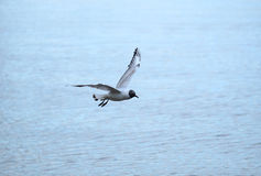 Seagull flying over water surface close up view Royalty Free Stock Photo