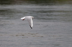 Seagull flying over the water Royalty Free Stock Photo