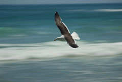 Seagull flying over waves Royalty Free Stock Photography