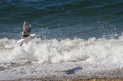 Seagull flying over waves on the beach Stock Images