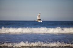 Seagull flying over waves Stock Photography