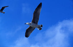 Seagull flying overhead against blue sky Royalty Free Stock Image