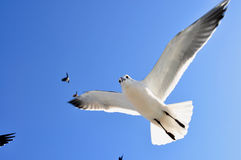 Seagull flying overhead with wings spread. Stock Images