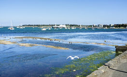 Seagull flying past view of Geelong bay. Sandbar and birds in foreground royalty free stock image