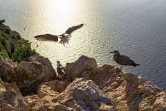 Seagull flying from the Peñon de Ifach together while their companions wait placidly at sunset. Photography made in Calpe, Alicante, Spain royalty free stock photo