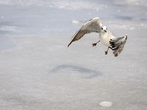 Seagull flying frozen sea Stock Image